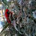 Crimson Rosella by NathanaelBC