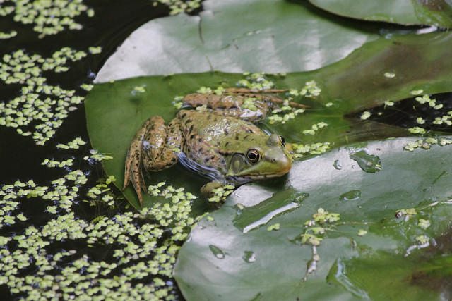 IMG_0163 Frog on a Lily Pad