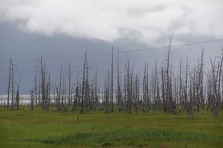 001 Dode bomen bij splitsing Girdwood