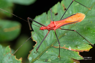 Assassin bug (Reduviidae) - DSC_3885