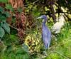 Little Blue Heron - Pinckney Island National Wildlife Refuge - Hilton Head SC by Meridith112