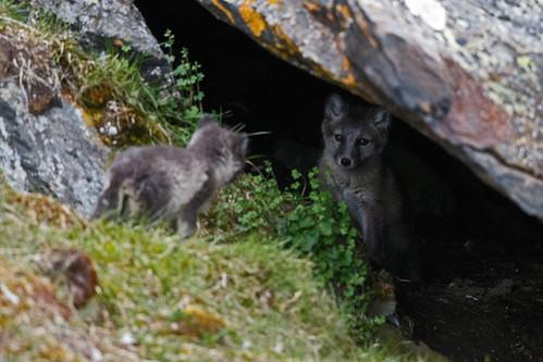 Arctic Fox (Fjällräv)