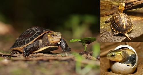 食蛇龜組圖(3)