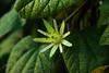 Passiflora citrina by betadecay2000