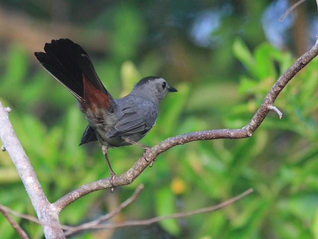 Gray Vatbird 20151015