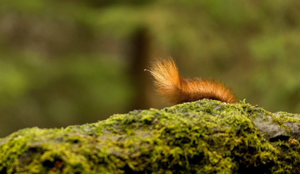 Red Squirrel Tail