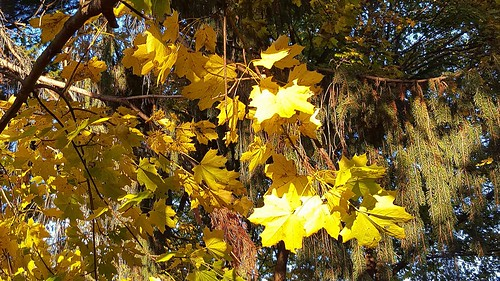 Norway maple gleaming golden