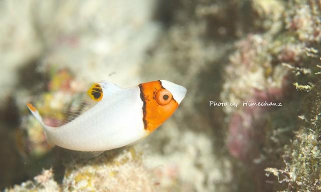 目がボタンに見えてきた・・・。イロブダイ幼魚