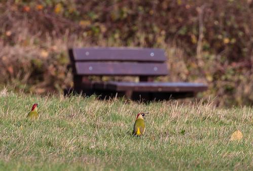 Green Woodpeckers 025 (166)