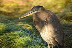 Dappled Heron