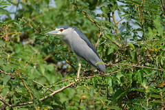 Black crowned night heron = walk down the bank from Secrets Guest House Entebbe to find the colony.