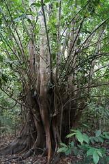 Big tree in Colombian Amazone rainforest