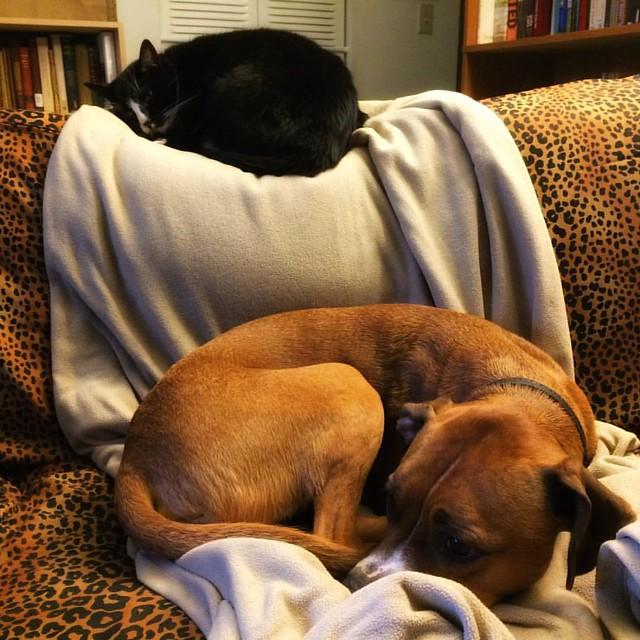 Boys #cats #tuxedocat #catsanddogs #dogs #boxerdog #dogsandcats