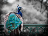blue peafowl - Pavo cristatus by Sebastian Bayer