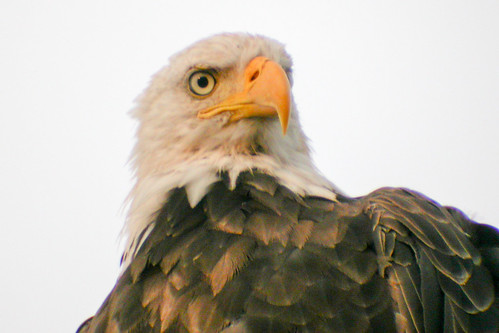 bird wildlife birding baldeagle ornithology birdwatching oiseau faune ornithologie pygargueàtêteblanche