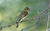 Pacific-Slope Flycatcher at DBG