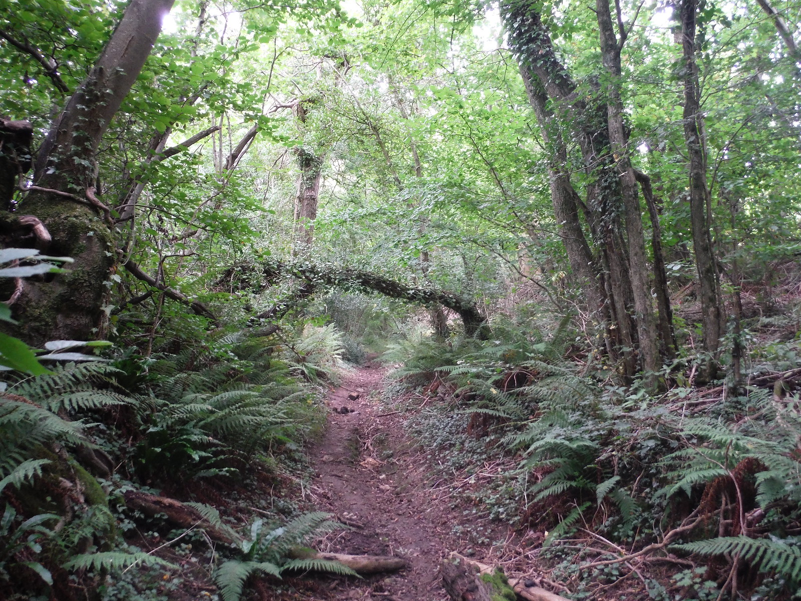Ancient Holloway up to Castle Ditches Iron Age Hillfort (II) SWC Walk 250 Tisbury Circular via Alvediston