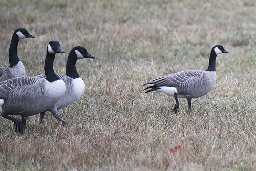 Meadow Lake: Cackling Goose