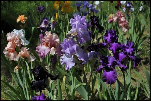 Bouquet de chez moi : de gauche à droite : One Desire, Sweet Musette, Orchidarium, Master Touch, et dessous Hello Darkness