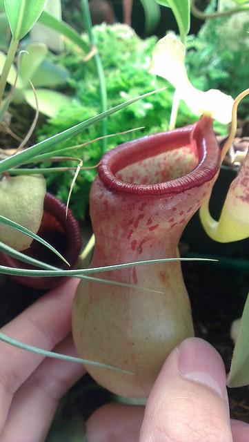N. ventricosa UCB