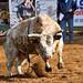 The Full Bull 7599