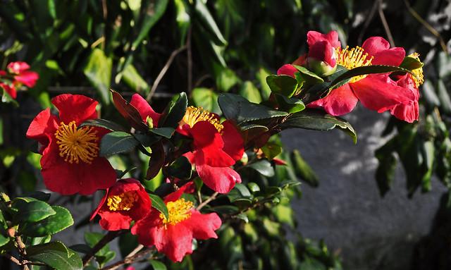 Camellia sasanqua 'Yuletide' (1)