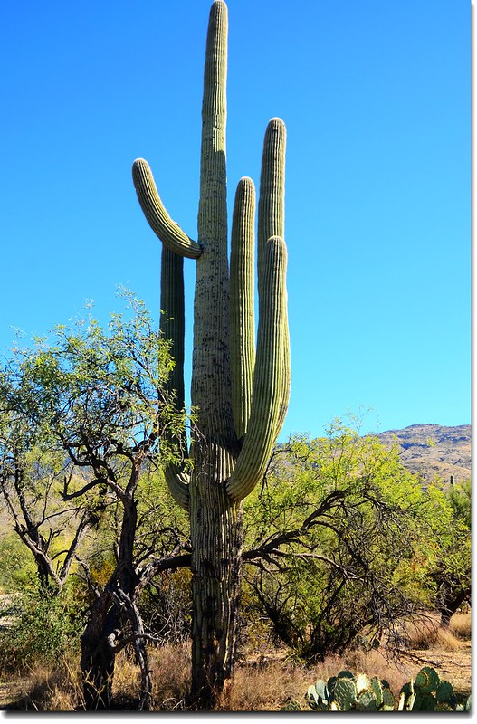 Saguaros growing on the Rincon Mountain District 10