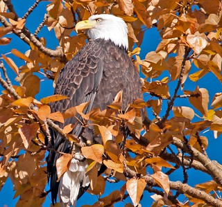 Fall Bald Eagle Nov.2015