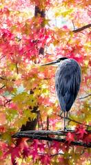 Great-Blue-Heron-in-Autumn
