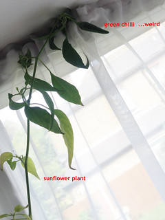 IMG_3088c_hybrid sunflower sprouting a chilli