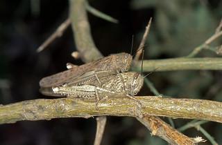 Egyptian Locusts (Anacridium aegyptium) mating