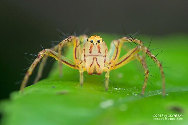 Lynx spider (Hamataliwa sp.) - DSC_1680