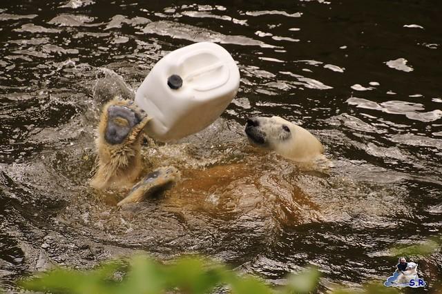 Eisbär Fiete im Zoo Rostock 26.09.2015   0125
