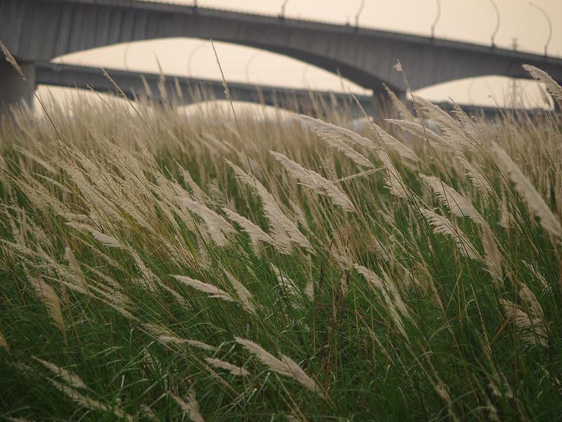 高屏溪舊鐵橋與芒花- K-01