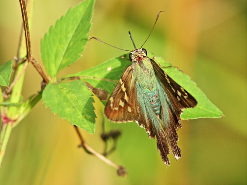 Long-tailed Skipper 20151027