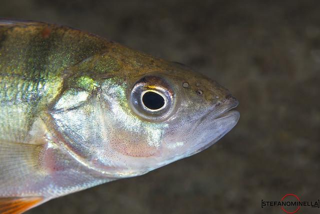 I see you! - Perca Fluviatilis