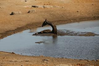 Dying Giraffe