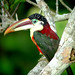 Curl-crested Aracari (Will Carter)