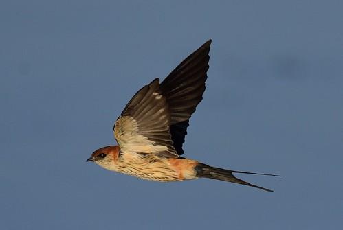 greater botswana greaterstripedswallow cecropiscucullata hirundocucullata mogobanedam
