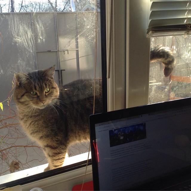 Тигруша с другой стороны окна недоволен - ему до сих пор не вынесли завтрак! Интересно, как он узнал, что у нас сегодня паштет из печенки, а не овсяная каша? #котикиправятмиром #котики  #старыйкрым