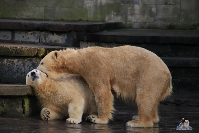 Eisbär Fiete im Zoo Rostock 13.12.2015  174