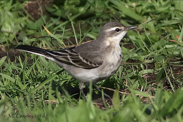 Eastern Yellow Wagtail (M.Goodey)