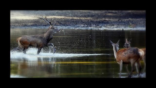 Brame du cerf (Parc animalier saint Hubert de Boutissaint)