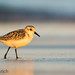 Sanderling glowing the final rays of sunset by Pat Ulrich