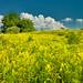 Goldenrod hillside by wandering_lens