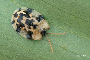 Tortoise beetle (Aslamidium bolivianum) - DSC_3221