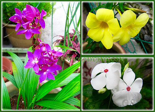 Collage of Spathoglottis piicata, Allamanda cathartica and Catharanthus roseus 'Cooler Peppermint', July 5 2015