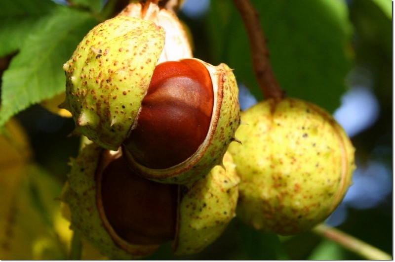 Horse Chestnut(七葉樹)~果實及種子