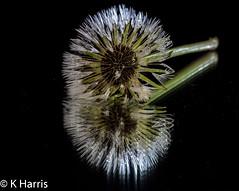 Wet Dandelion Reflection