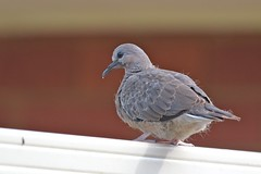 Young Spotted  Turtle - Dove